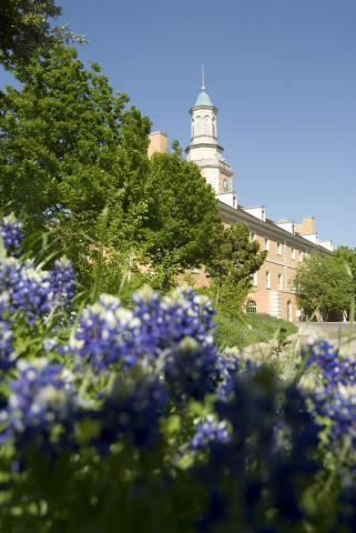 Bluebonnets on UNT campus